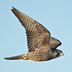 "Juvenile ""Pacific"" Peregrine Falcon. Note: dark brown overall."