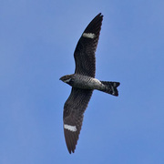 Male in flight. Note: white band on tail.