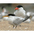 Adult breeding with Caspian Tern in background