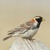 Breeding male plumage.